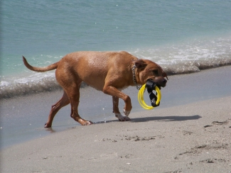 Summer safety tips for pets. Dog playing on Sanibel Island , Florida